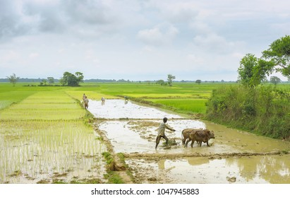 JORHAT, INDIA - AUGUST 23, 2011: Farmers work waterlogged paddy fields using wooden plough and oxen after monsoon rains on August 23, 2011 near Jorhat, Assam, India.