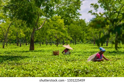 JORHAT, INDIA - AUGUST 25, 2011: Women wearing traditional clothes and bamboo hats harvest tea leaves on plantation on bright morning, August 25, 2011 near Jorhat, Assam, India.