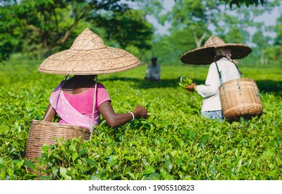 JORHAT, INDIA - AUGUST 30, 2011: Large bamboo hat and collection basket woven from bamboo worn by woman harvesting tea leaves on plantation on August 30, 2011 near Jorhat, Assam, India.