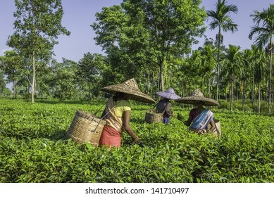 JORHAT, INDIA - AUGUST 30: harvesters wearing traditional clothes and bamboo hats pick the second flush of tea leaves on a tea plantation on August 30, 2011 in Jorhat, Assam, north east India.