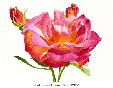 Joseph's Coat Rose with Buds.  Watercolor painting showing red and yellow rose with a white background.