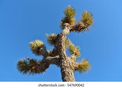 A Joshua Tree against a blue sky