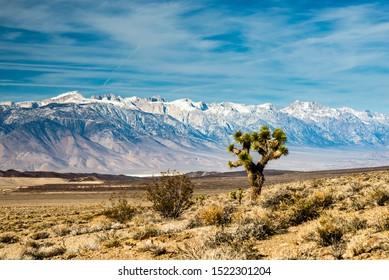Joshua Tree Before Snow Capped Sierra Nevada Mountains