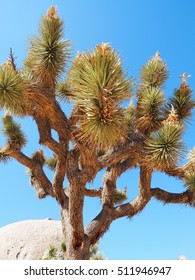 Joshua Tree with blooming flowers