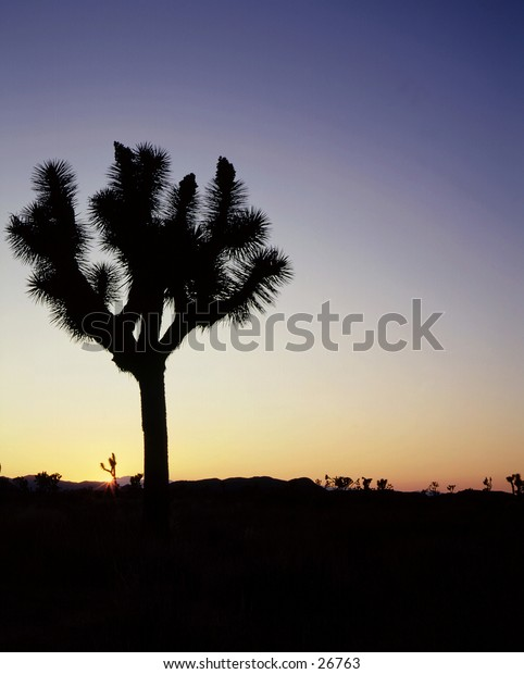 Joshua Tree in desert at sunset