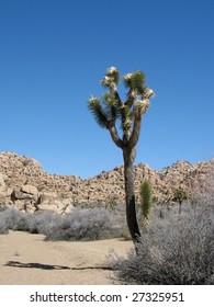 Joshua tree emerges from the desert landscape in Joshua tree National Park, California.