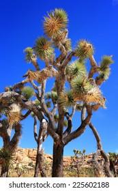 A Joshua tree framed against the deep blue sky.