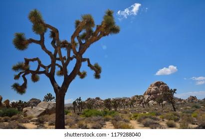 Joshua tree in Hidden Valley within Joshua Tree National Park in Southern California.