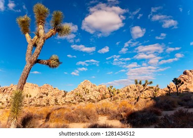 Joshua Tree Landscape Yucca Brevifolia Mojave Desert Joshua Tree National Park, California Named by the Mormon Settlers for Joshua in the Bible because the branches look like outstretched hands