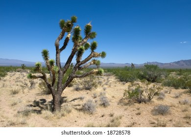 Joshua tree in the Mojave national park with the blue sky
