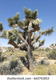 joshua tree in the national park