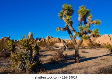 Joshua Tree in Joshua Tree National Park, California, USA