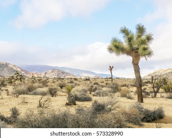 A Joshua Tree, Joshua Tree National Park, California, USA