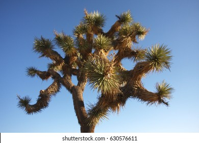A Joshua Tree in Joshua Tree National Park, California.