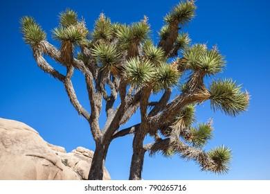 A Joshua Tree in the Joshua Tree National Park, California, USA