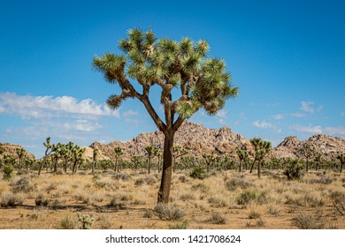 A Joshua Tree in Joshua Tree National Park, with a rocky landscape behind