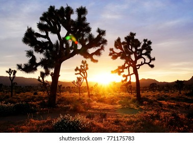 Joshua Tree National Park with a setting sun