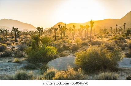 Joshua tree national park at sunset,California,usa.