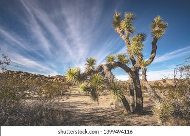 Joshua tree National Park. Unique and fascinating, mainly desert landscapes, characterized by its vegetation, and yucca trees.