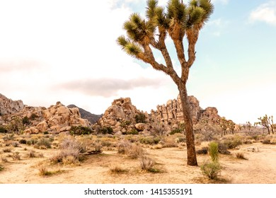 Joshua tree on a road side with outstanding rock formations on background. Joshua Tree National park, California, USA.