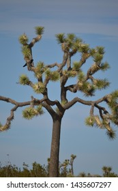 Joshua Tree with a perched raven crow.