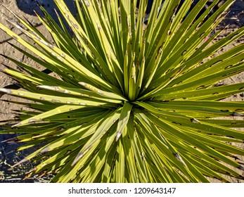 Joshua Tree Plant close up, Death Valley National Park Death Valley National Park, California, USA