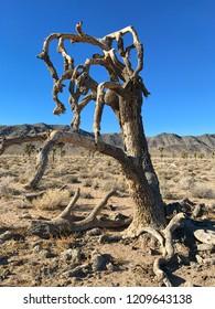 Joshua Tree Plant, Death Valley National Park, California, USA