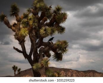 Joshua Tree Raven