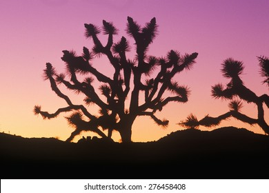 Joshua Tree silhouette, desert in bloom, CA