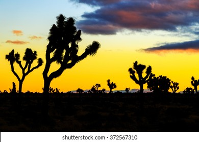 Lot of Joshua tree at sunset