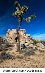 Joshua tree (Yucca Brevifolia) against monzogranite boulders and a blue sky at Hidden Valley in Joshua Tree National Park