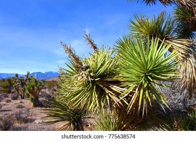 Joshua Tree (Yucca brevifolia) in the desert ecosystem northwest of Las Vegas