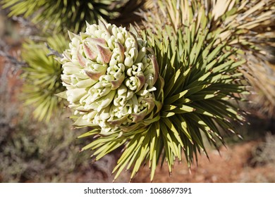 joshua tree or Yucca brevifolia flower with selective focus