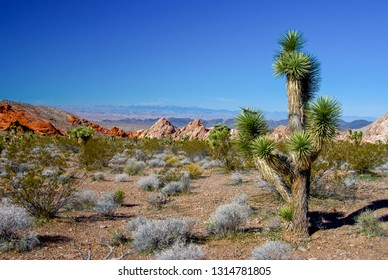 A Joshua Tree, Yucca brevifolia,  growing in the Whitney Pockets area fof Nevada.