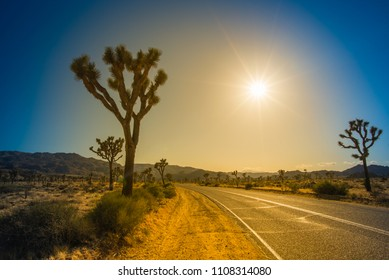 Joshua tree (Yucca Brevifolia) in Joshua Tree National Park, California, U.S.A. on hot sunny day, before sunset. Cactus like palm tree yucca's biblical name (by Mormons) is also famous U2 band album.