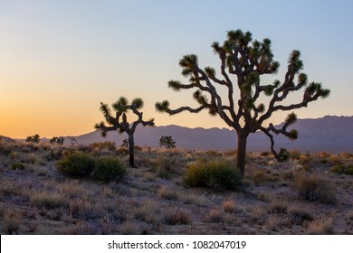 Joshua Trees, California, USA