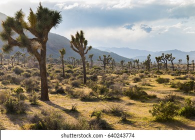 Joshua Trees growing in the desert - Joshua Tree National Park, California