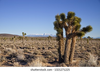 joshua trees growing in the high desert of Death Valley National Park with Telescope Peak in the distance