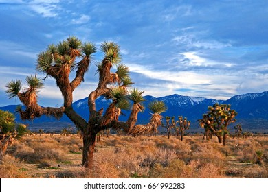 Joshua Trees in High Desert California USA