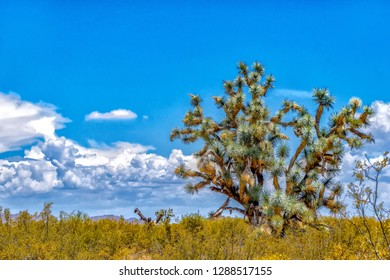 Joshua trees are large yuccas that have grown into trees. This beautiful Joshua tree is growing in the Arizona desert near Wickenburg.13 July 2017 - Image