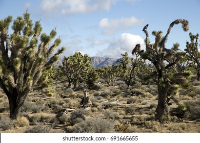 Joshua Trees on Drive to Grand Canyon West, Arizona, USA