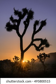 Joshua trees at sunrise near the Hidden Valley campground of Joshua Tree National Park, California