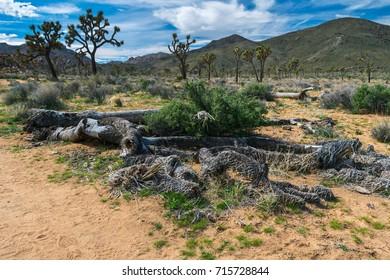 Joshua Trees in Joshua Tree National Park, Riverside County and San Bernardino County, California, USA
