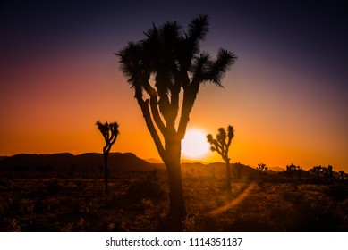 Joshua trees (Yucca Brevifolia) against sunset glow in desert landscape in Joshua Tree National Park, California, U.S.A. Cactus like palm tree yucca's biblical name is also famous U2 band album