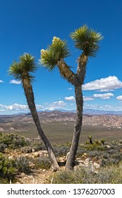 Joshua trees (Yucca brevifolia) ryan mountain in joshua tree nat