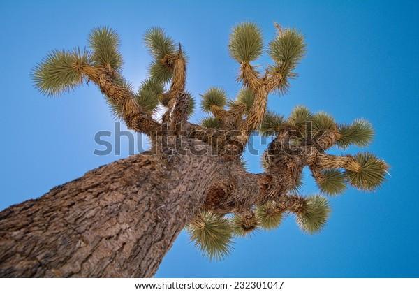 Joshua tree/Yucca brevifolia
