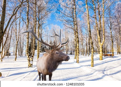 Journey to Santa Claus. Magnificent reindeer with branched horns on ski road in the snow-covered aspen grove. Concept of active and ecological tourism