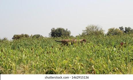 Jowar farm in india maharashtra