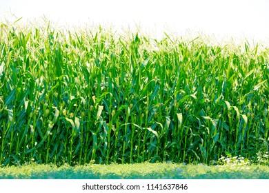 jowar grain field