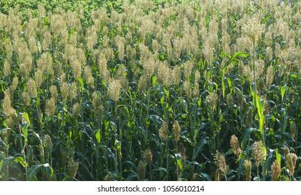 Jowar grain sorghum crop farm in growth at field